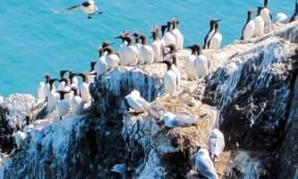 Alaska Gull Island See Bird cam Pratt Museum