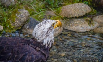 Rainforest sanctuary totem park eagles ARS ARC Luci