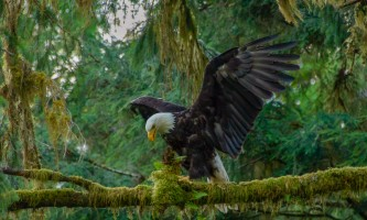 Rainforest sanctuary totem park eagles ARS Eagle