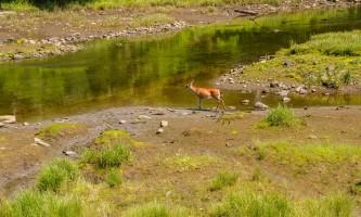 Rainforest sanctuary totem park eagles ARS Estuary Deer