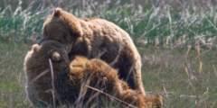 Regal Air Bear Viewing