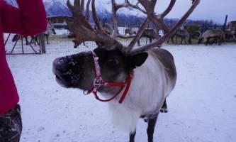 Reindeer Farm IMG 8117