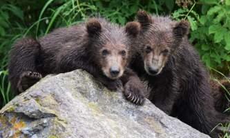 RBL Twin Bears Marrano alaska rusts bear viewing anchorage