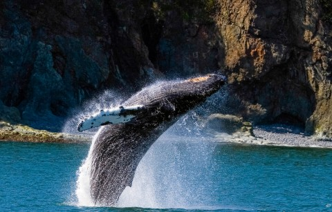 A humpback whale in mid jump out of the water.