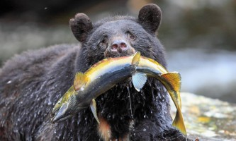 Bear with fish horz 2