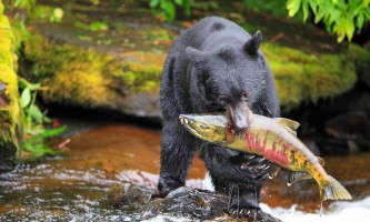 Bear with Salmon horz