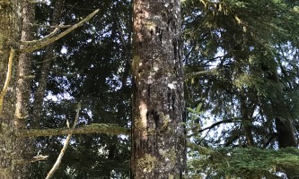 Neets Bay Bear claw marks in tree
