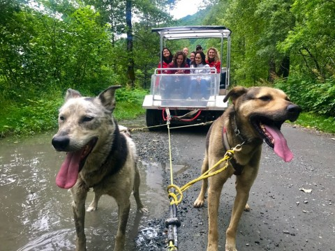 Sled dogs pull passengers on a wheeled cart through the woods
