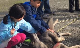 Alaska temsco mendenhall dog sledding Dog Sledding Summer Camp Belly Scratches TEMSCO Dog Sledding Summer Camp