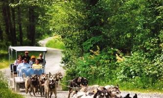 Alaska temsco mendenhall dog sledding Summer Dogs Cart in Motion TEMSCO Dog Sledding Summer Camp