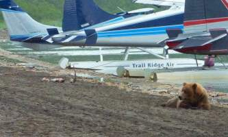 Trail Ridge Air Bear Viewing Katmai20132019