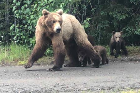 Trail Ridge Air Inc. Bear Viewing