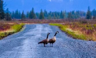 Wendey Ranney Alaganik Geese alaska alaganik slough wendy ranney
