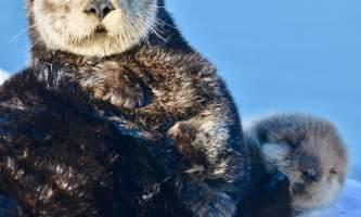 Sea otter cordova DSC 1004
