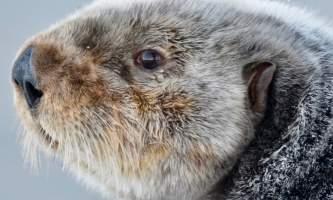 Sea otter cordova DSC 5395