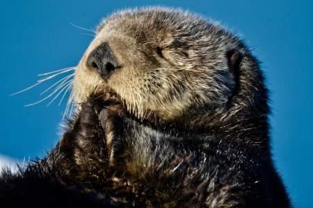Sea Otter Viewing Cordova