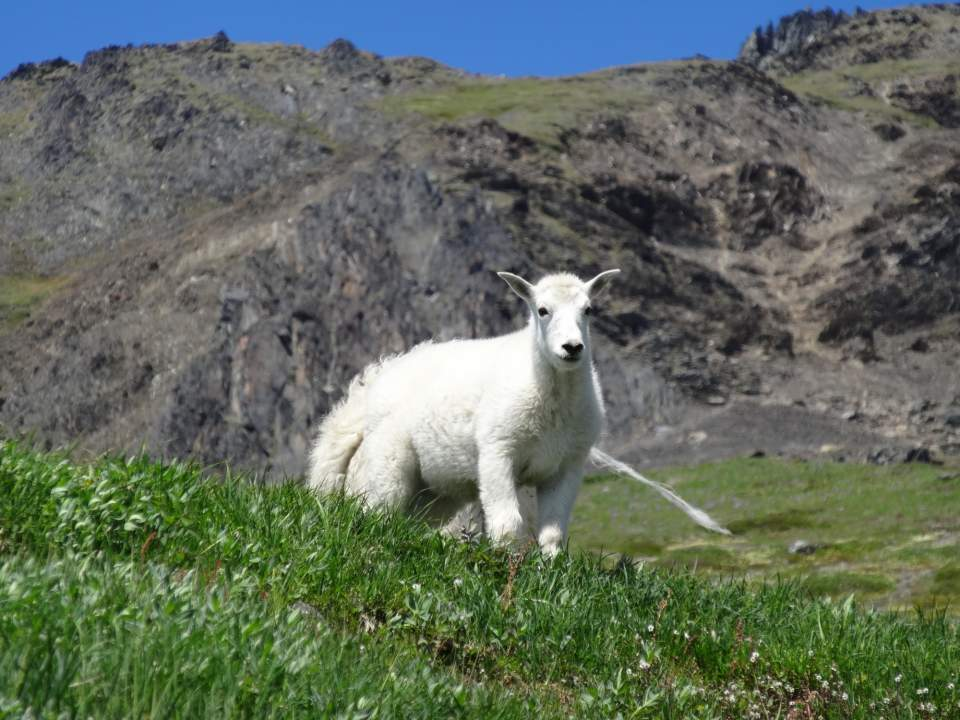 Harding icefield trail goat2