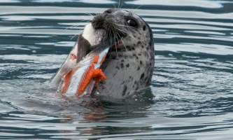 Ed pinsky seal VCVB alaska solomon gulch fish hatchery