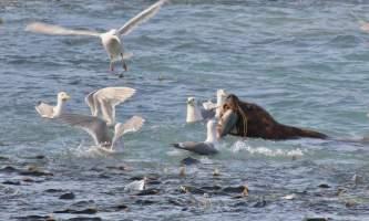 Shaton wheeler image0 alaska solomon gulch salmon hatchery shton wheeler valdez