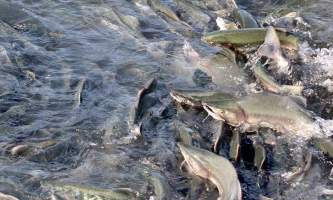 Shaton wheeler image2 alaska solomon gulch salmon hatchery shton wheeler valdez