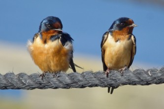 Birds Barn Swallow