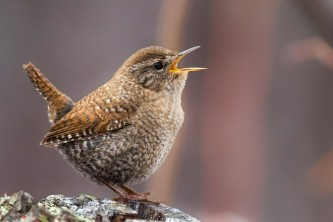 Birds Winter Wren