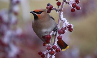 Birds Bohemian Waxwing