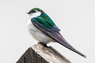 Birds Violet green Swallow