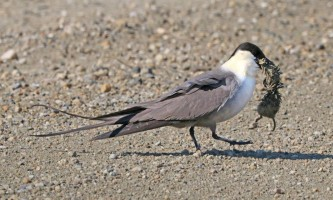 Birds Long tailed Jaeger