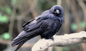 Birds Northwestern Crow