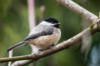 Birds Black capped Chickadee