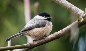 Birds Black capped Chickadee