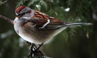 Birds American Tree Sparrow