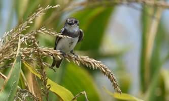 Birds Bank Swallow