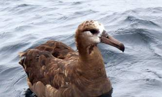 Birds Black footed Albatross