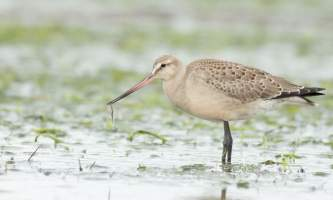 Birds Hudsonian Godwit ALL RIGHTS RESERVED