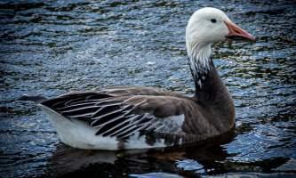 Birds Snow Goose