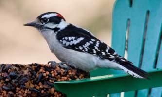 Wildlife Downy Woodpecker Bird Species