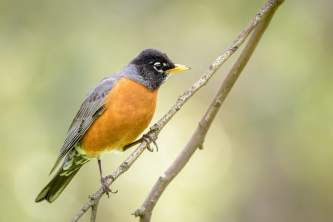 Birds American Robin 2019 Becky Matsubara