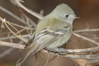 Birds Hammonds Flycatcher