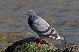Birds Rock Dove