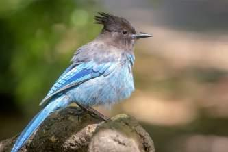 Birds Stellers Jay 2018 Becky Matsubara