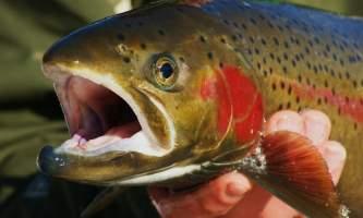 Fish Steelhead