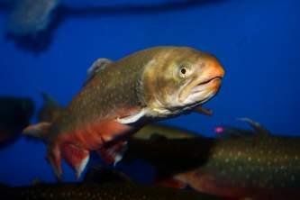 Fish Arctic Char