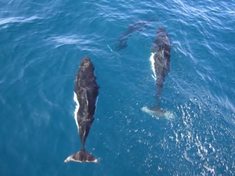 Dall's Porpoise