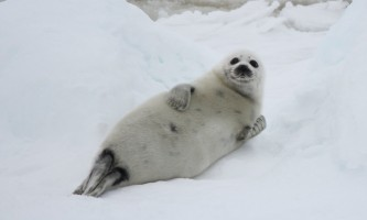 Marine mammals harp seal ALL RIGHTS RESERVED