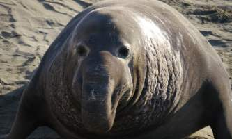 Marine mammals Elephant Seal01