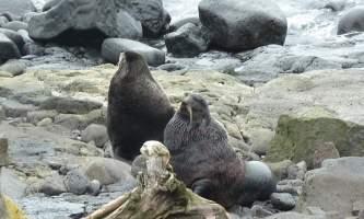 Marine mammals Northern Fur Seal01 Don Robyn Henise