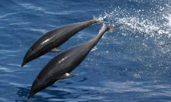 Marine mammals Northern Right whale dolphin