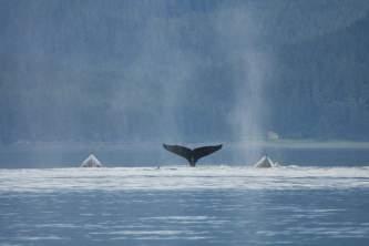 Marine mammals blue whale